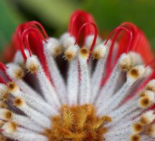 Scarlet Banksia 1 by Shane Howlett
