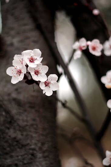 Cherry Blossoms  by capturition