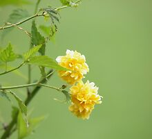 Old Time Yellow Rose by Nick Kirby