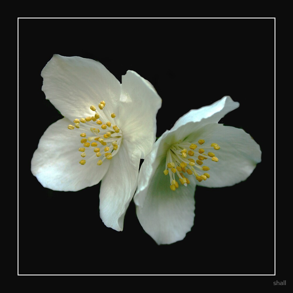 White Blossom by shall