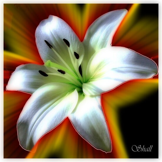 Wow Lilly by shall
