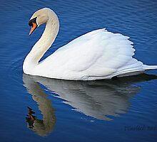 swan reflection by Tgarlick