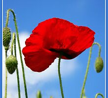 Poppies by shall
