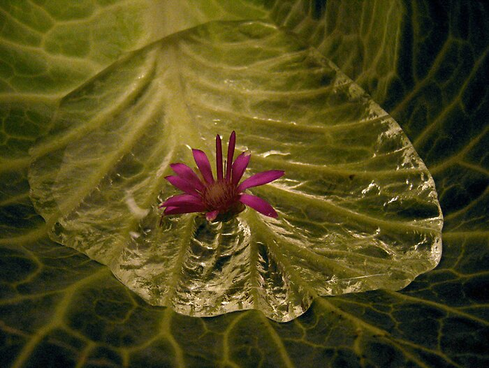 Trying to be a water lily  by Veronica Pisica