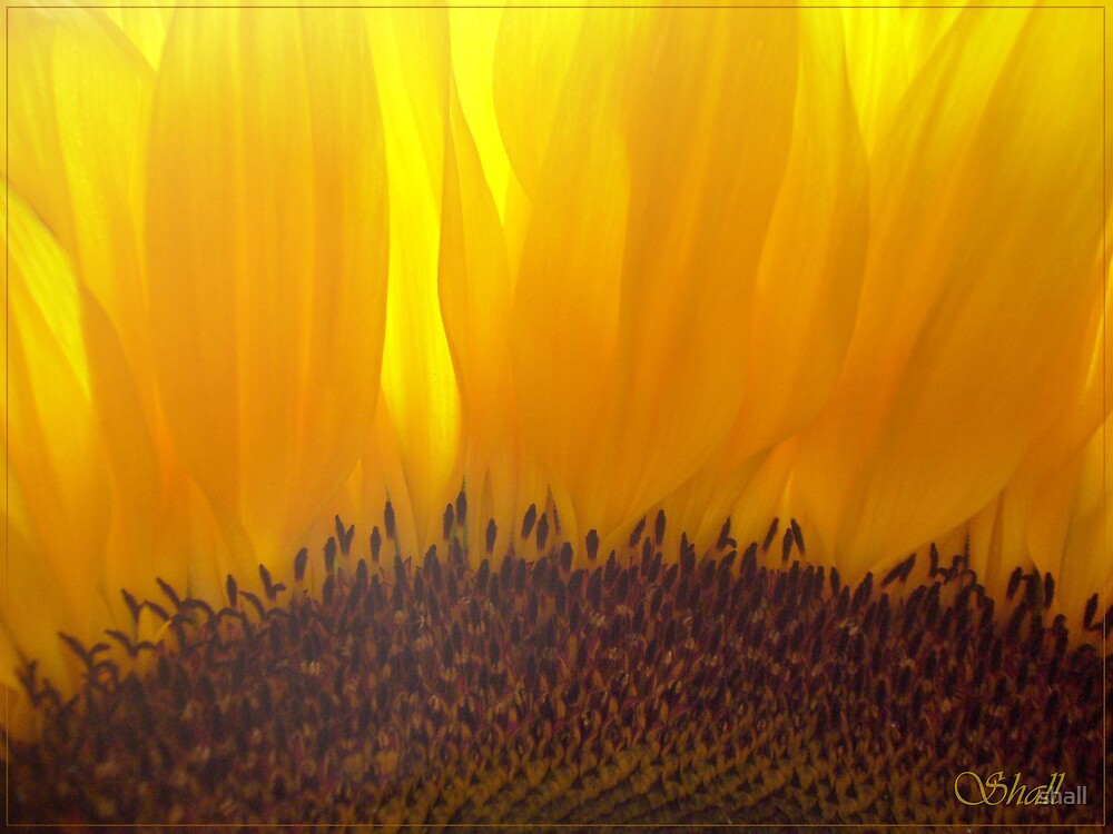 sunflower by shall