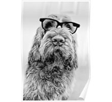 Brown Roan Italian Spinone Dog Head Shot with Glasses Poster