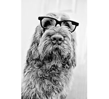 Brown Roan Italian Spinone Dog Head Shot with Glasses Photographic Print