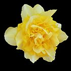 Double Daffodil by Rebanne