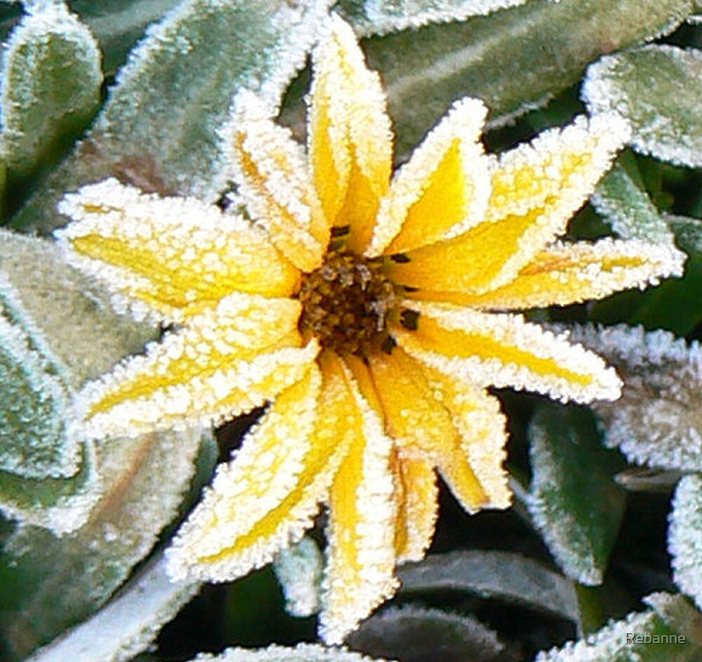 Frosted Daisy by Rebanne