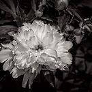White peony II - B&W by PhotosByHealy
