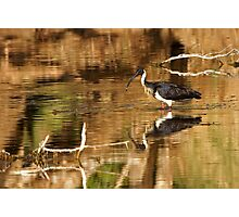 Straw-necked Ibis ~ Looking at Me  Photographic Print