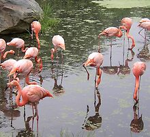 Flamingos Reflecting In Water by jenndes
