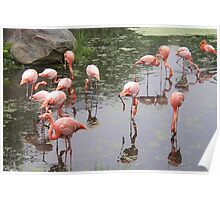 Flamingos Reflecting In Water Poster