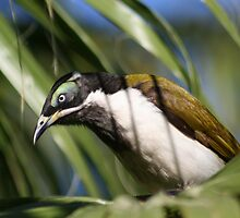 Australian Blue Faced Honey Eater # 2 by Kane  Hardie