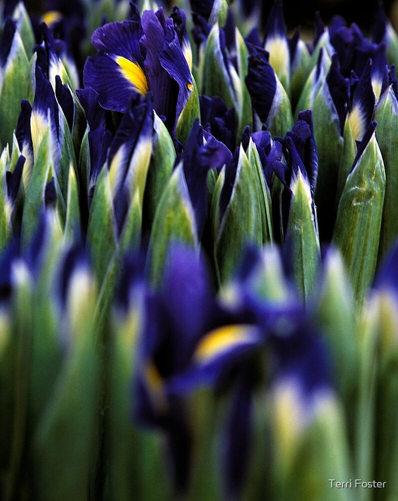 Iris by Terri Foster