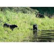 3 Black Bears Photographic Print