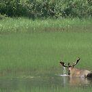Big Bull Moose by Rebanne