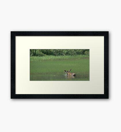 Big Bull Moose Framed Print