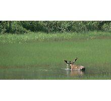 Big Bull Moose Photographic Print