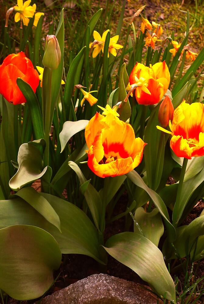 Tulips by noirerose