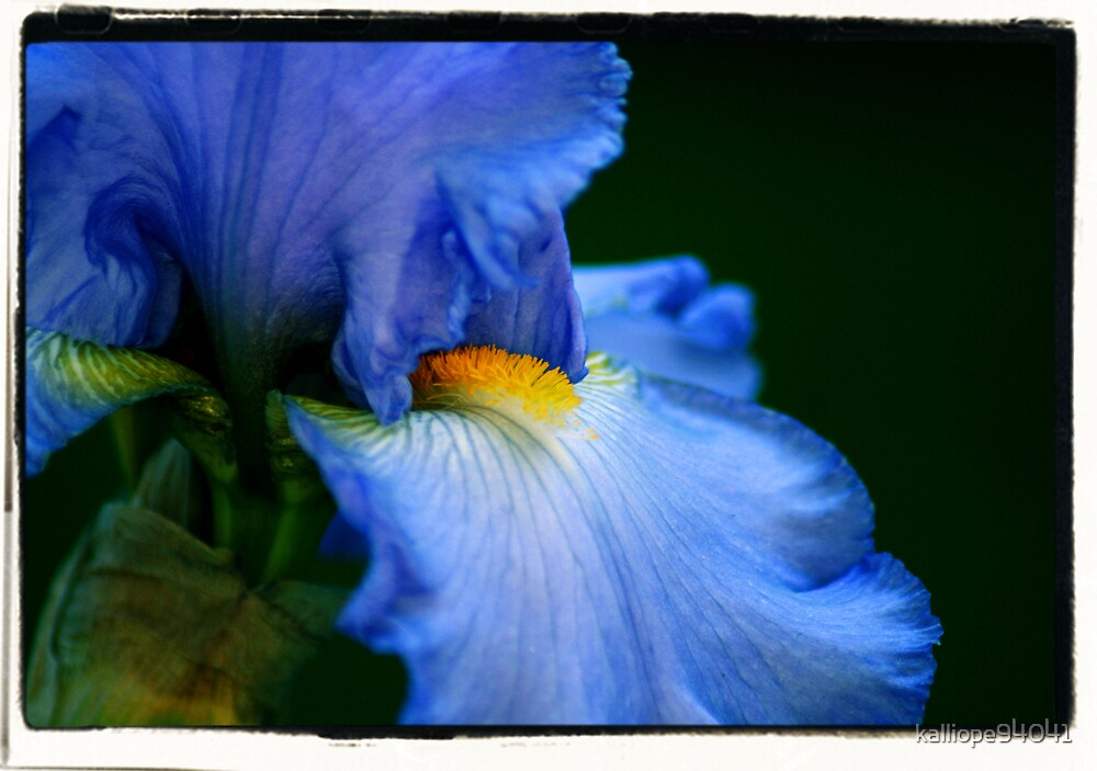 Blue Iris by kalliope94041