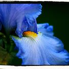 Blue Iris by kalliope94041