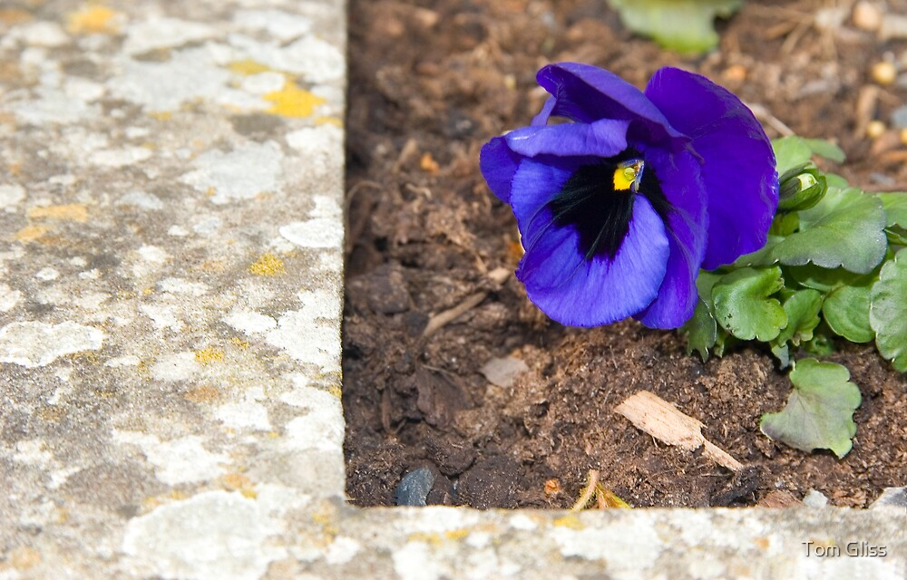Pansy by Tom Gliss