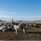 Goat in a Mongolian Steppe by Philip Seifi