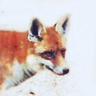cold fox by Claudia Dingle