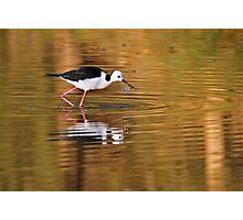 Black-winged Stilt ~ On Golden Ponds Photographic Print