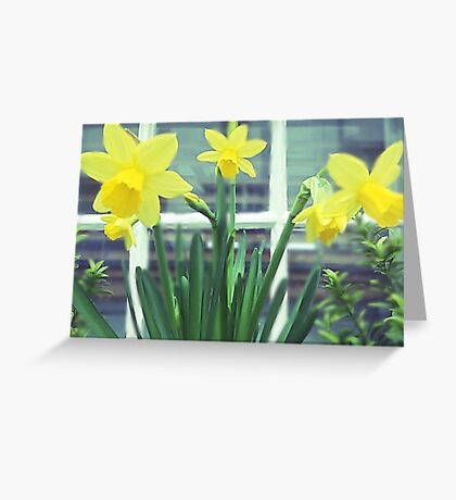 St Ives Daffodils  Greeting Card