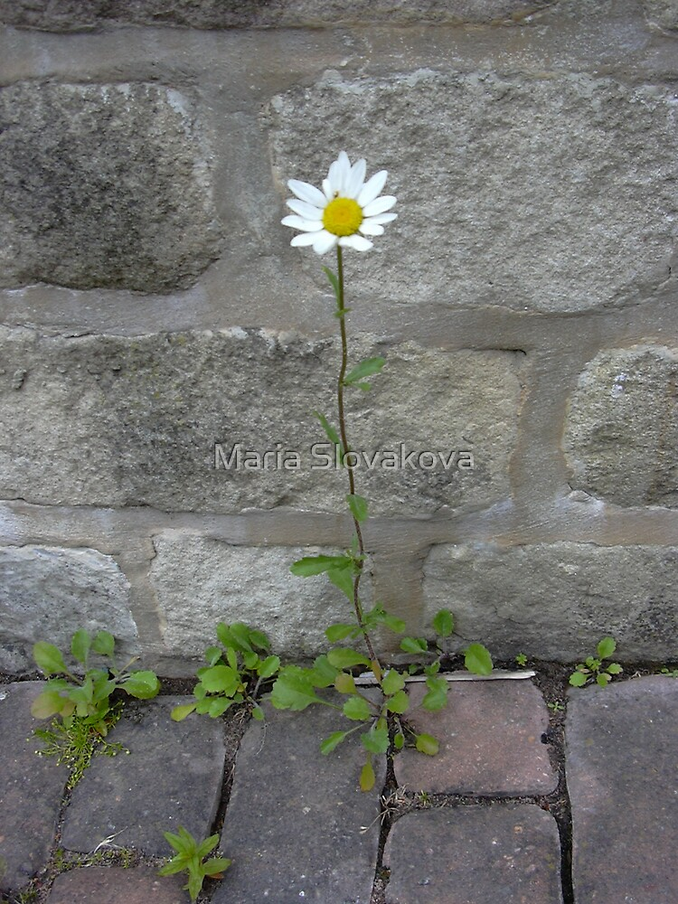 Daisy D by Maria Slovakova