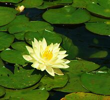 Flower on Lily Pads by NervousNellie