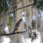 Red Shouldered Hawk by Rosalie Scanlon