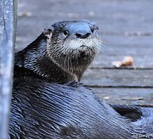 North American River Otter ( Lontra,canadensis) by Jeff Ore