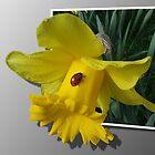 Ladybird on a Daffodil  by steve chamberlin
