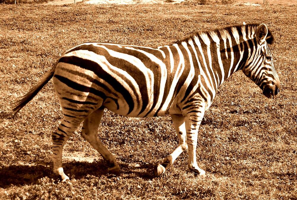 zebra by lauren lederman