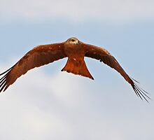 Black Kite ~ Just Floating  by Robert Elliott
