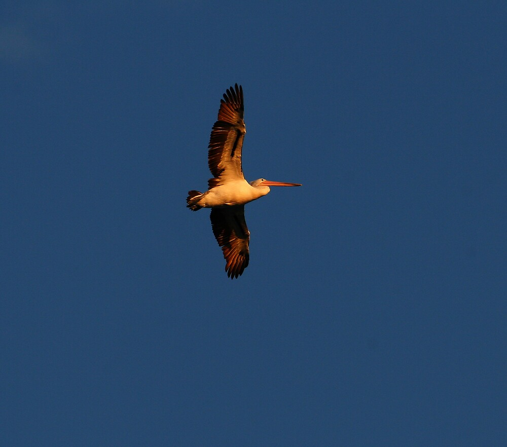 PELICAN SOARING by CRSPHOTO