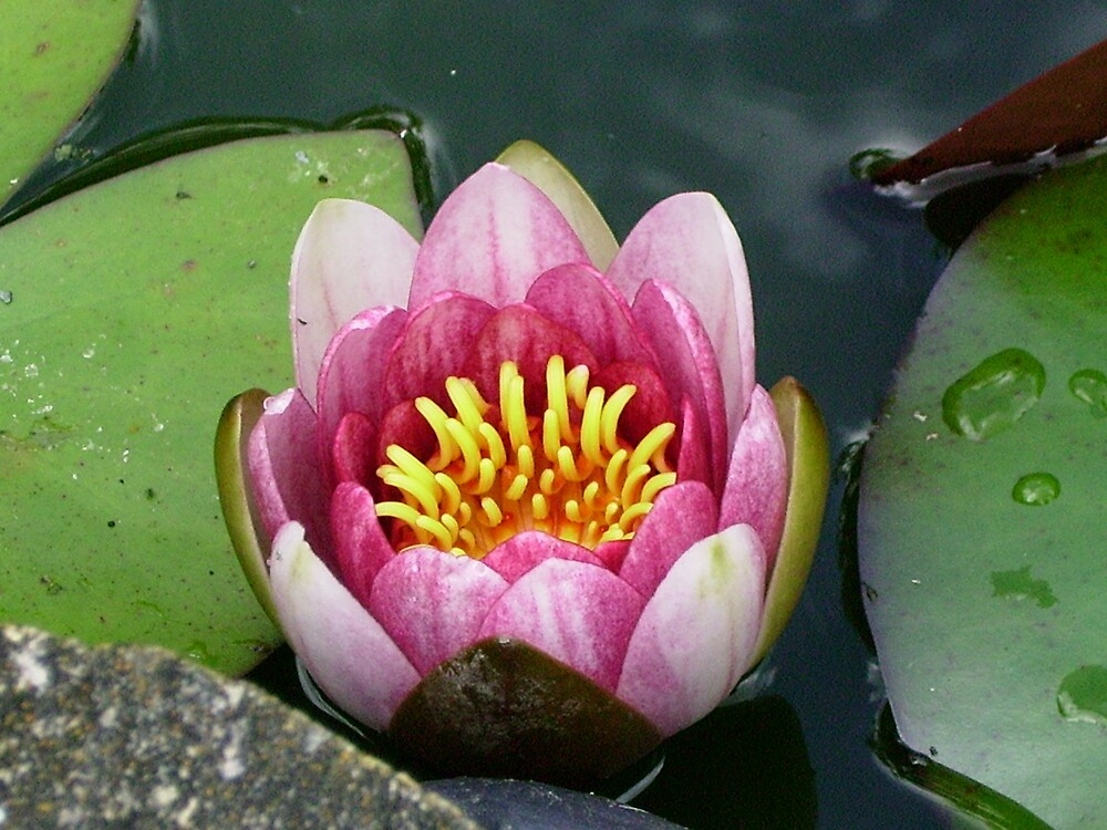 lily in a pond by Beverley51