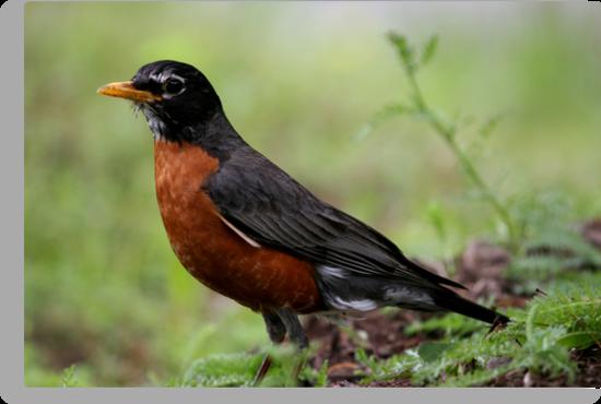 American Robin  by Gary L   Suddath