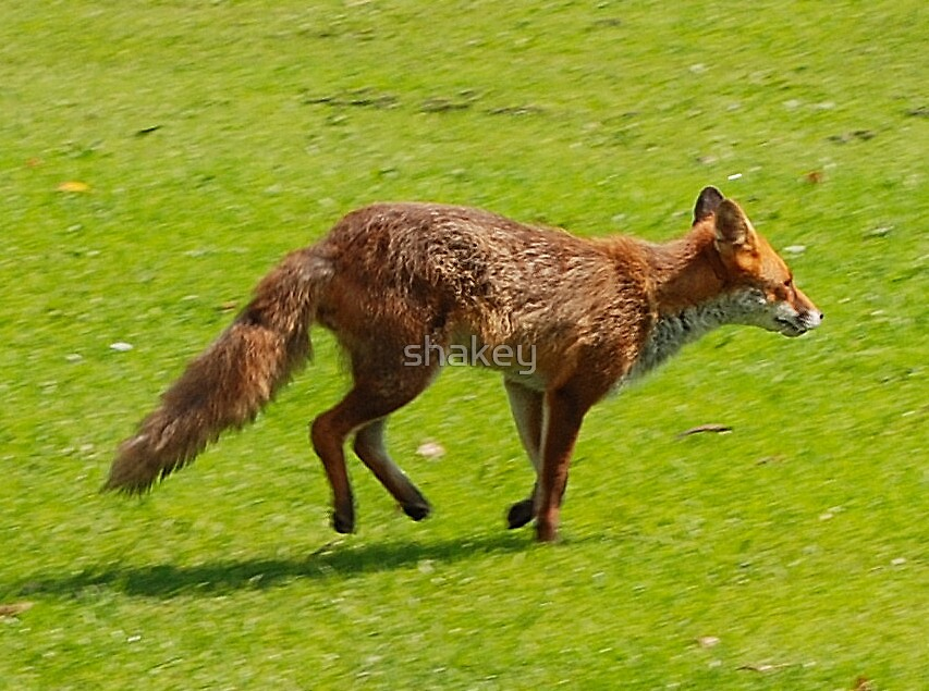 Fox on the run by shakey