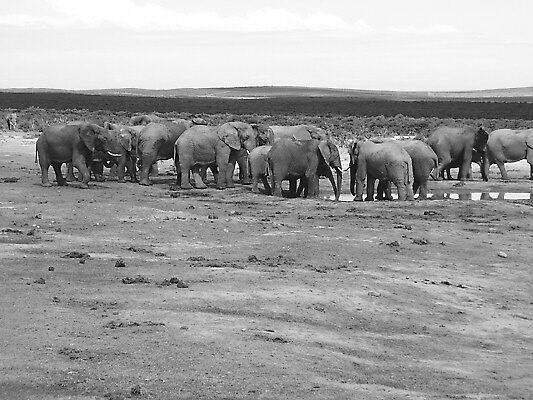 Elephant drink by HelenBanham