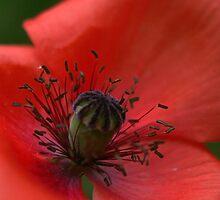 Poppy by Sue Hammond