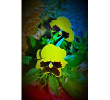 Colorful pansy dance Photographic Print