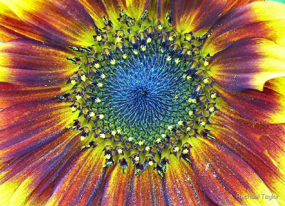 Sunflower by Rachael Taylor