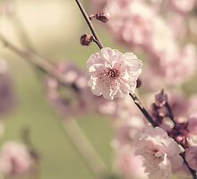 Apple Blossoms in Spring by Rdiepenheimfoto
