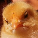 Baby chicken by Sorin  Reck