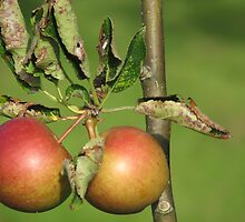 Apples by HelenBanham