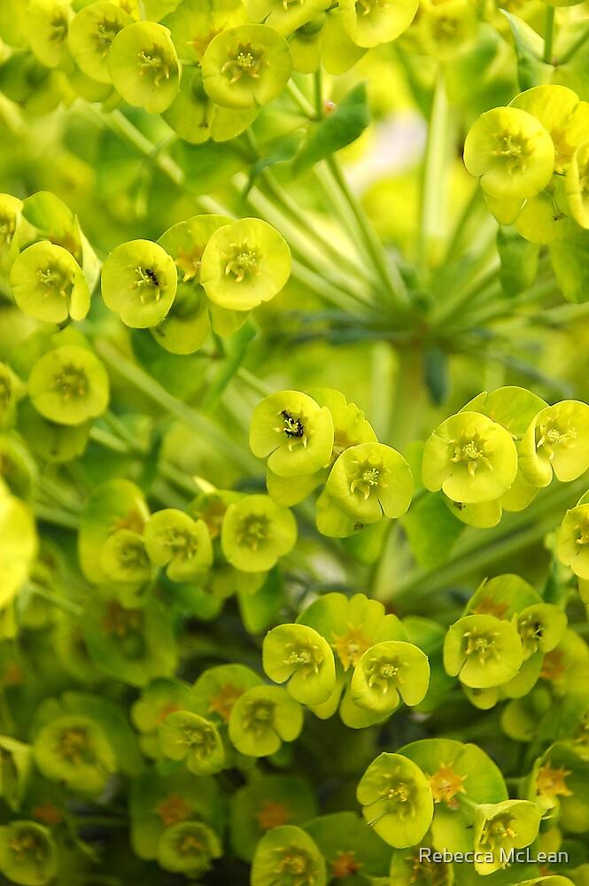 Euphorbia by Rebecca McLean
